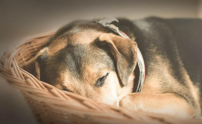 Hond ligt ziek in de mand. Een natuurlijke dood of laten inslapen? Maar wanneer?