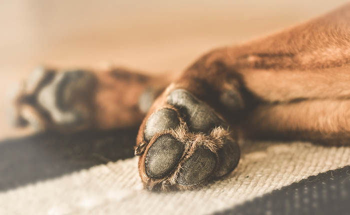 hondenpoot van een hond die ligt