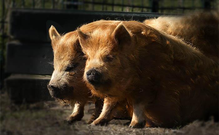 Hobbydieren. Zwijntjes, varkens of hangbuikzwijntjes.