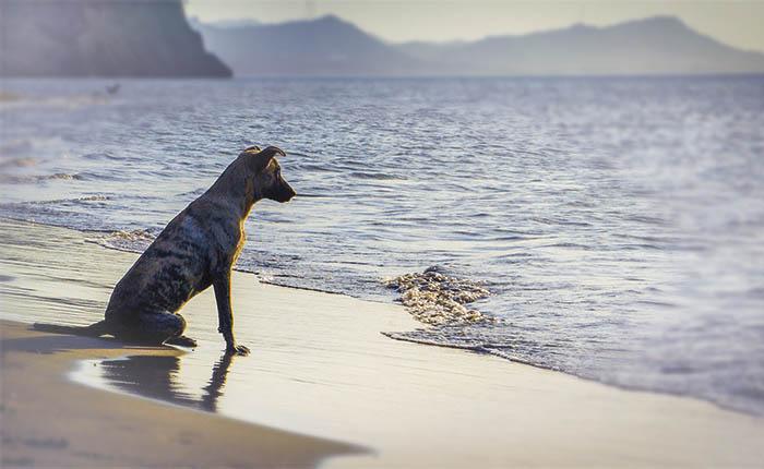 Hond op het strand bij de zee. Je hond laten resomeren na zijn overlijden.
