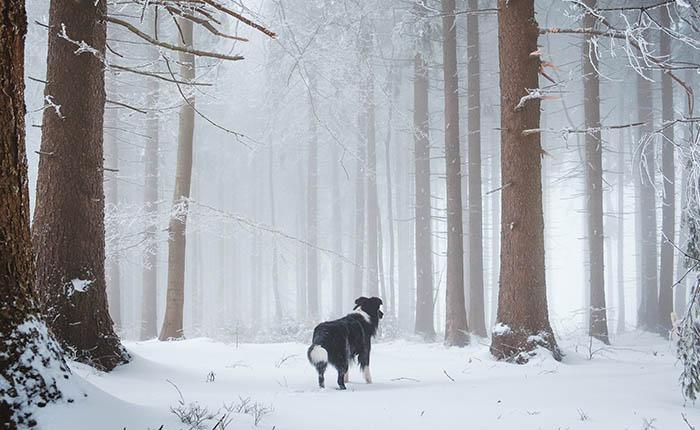 Hond in bos met sneeuw. Moet ik mijn hond doneren aan de wetenschap?