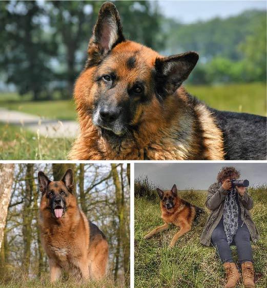 Duitse Herder Duke