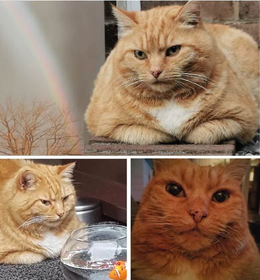 Rode kat of kater. Ozie