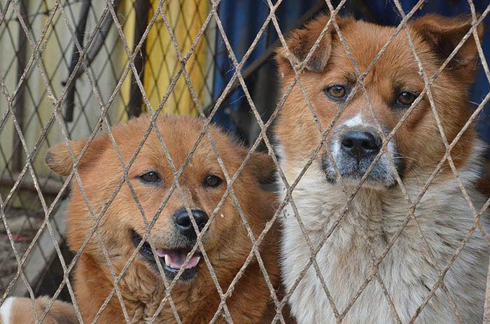 twee honden achter een hek. veel dierenleed bij de illegale puppyhandel
