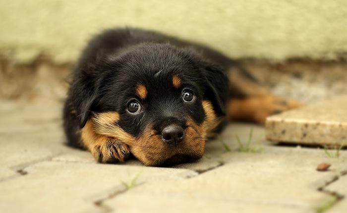 rottweiler puppy die ligt op straat. aangekocht via illegale puppyhandel